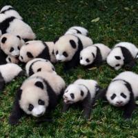 Pandafanforever