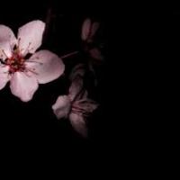 Sakura_Sosa