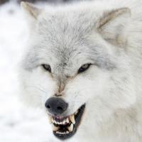 White Wolf72135