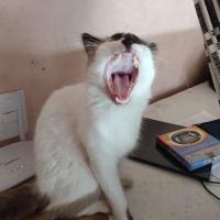 gato gritante